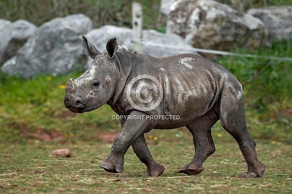 Baby White Rhino Walking