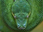 Chondro Python
