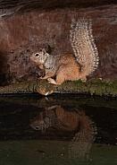 Rock Squirrel Spermophilus variegatus