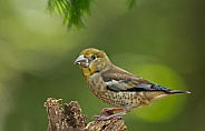The hawfinch young