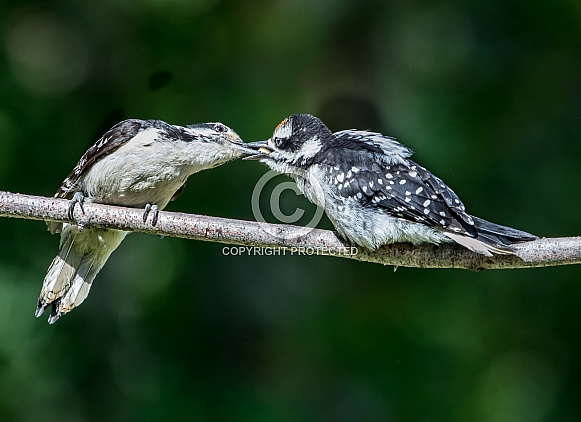 Female Hairy Woodpecker Feeding Junior in Alaska