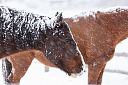 Horse, Equus caballus