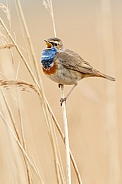The bluethroat (Luscinia svecica)