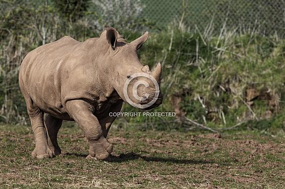 White Rhino Calf Full Body