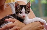 European Shorthair Kitten