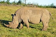 South African White Rhino