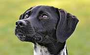 German Shorthaired Pointer Hybrid