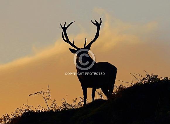 Red Deer silhoette