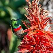 Double-collared Sunbird