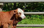 Brown & White Calf