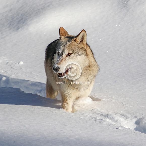 Wolf in heavy snow