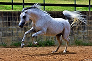 Leap To Your Faith- Arabian Stallion