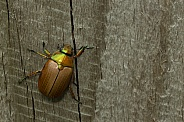 Christmas beetle.