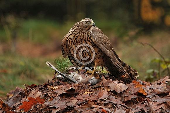 goshawk with prey