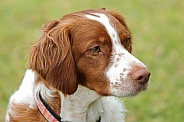 Brittany Spaniel (male)