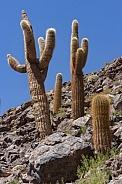 Cactus Canyon near San Pedro de Atacama - Chile