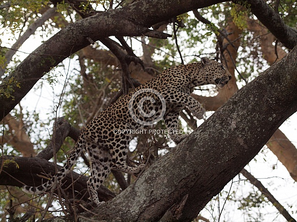 African Leopard