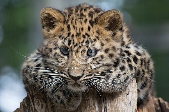 I am watching you...Amur Leopard