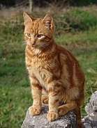 Orange Striped Cat
