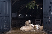 Sheep in Netherlands