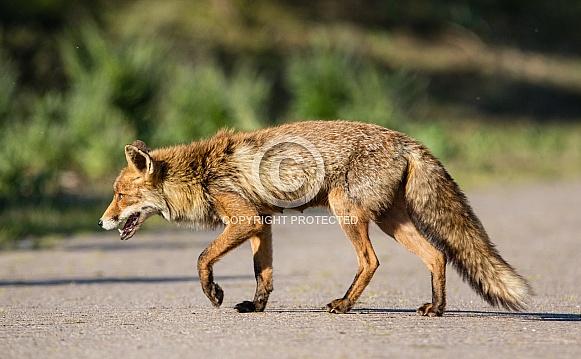 Red Fox crossing road