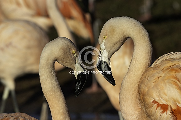 Two Chilean Flamingoes, Close up