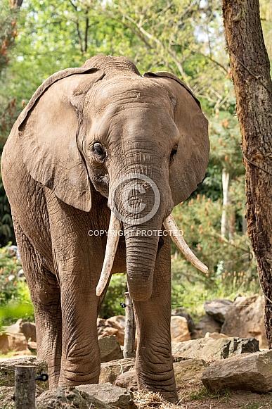 African Elephant Full Body Standing