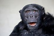 Chimpanzee (Pan troglodytes)