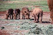 Young Rhino and Warthogs