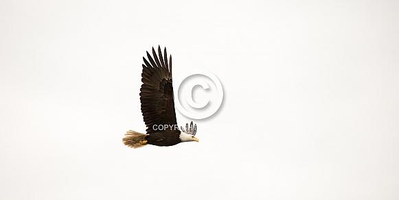 Bald Eagle (wild)