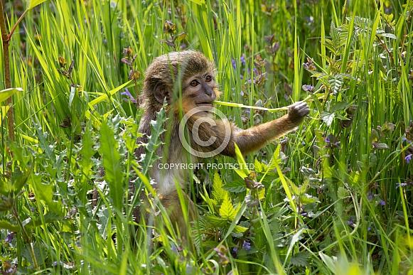 Gabon talapoin monkey