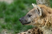 Spotted Hyena Side Profile Head Shot