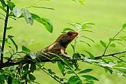 Crested Lizard