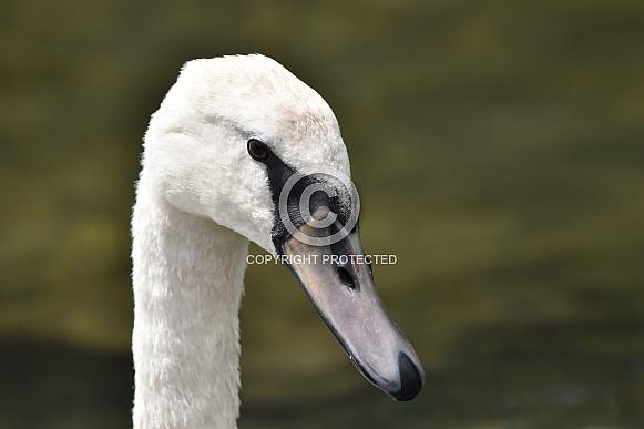 A Mute Swan Close Up