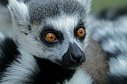 White-tailed Lemur