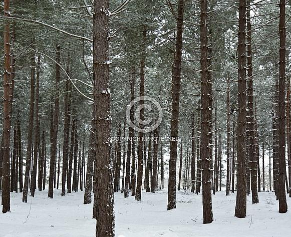 Pine trees in winter snow