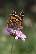 Australian Painted Lady Butterfly (wild).