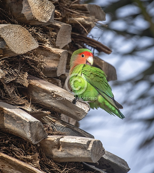Peach faced love bird sitting in a palm tree