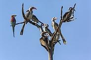 Seven red-billed hornbills and a Lilac brested Roller
