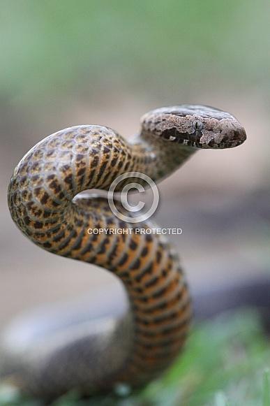 Golden-Crowned Snake