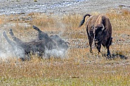 Bison wallowing in the Dust