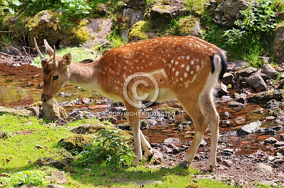 Roe Deer by River