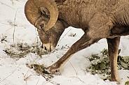 Big Horn Ram in snow