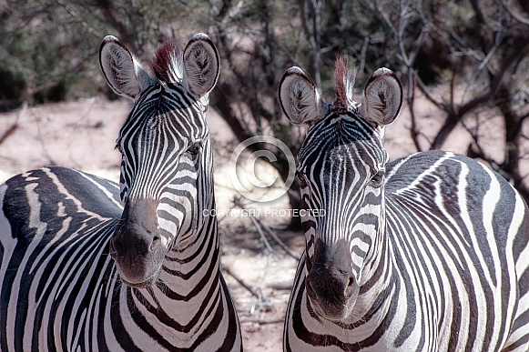 Zebra Duo Portrait