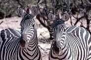 Zebra Duo Portrait