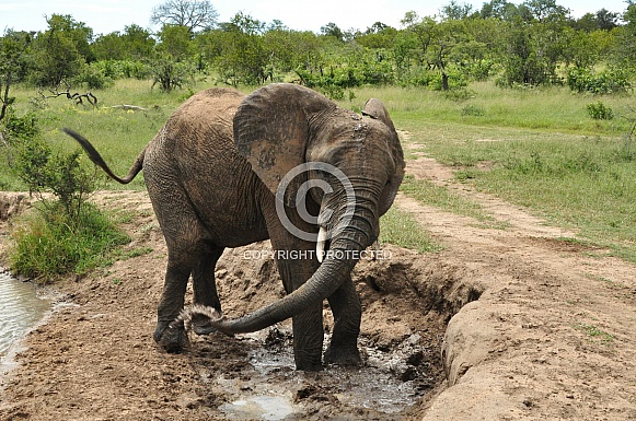 Bathing Elephant