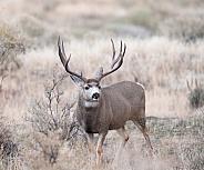 Wild Mule Deer Buck