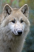 White Hudson Bay Wolf (Canis lupus hudsonicus)