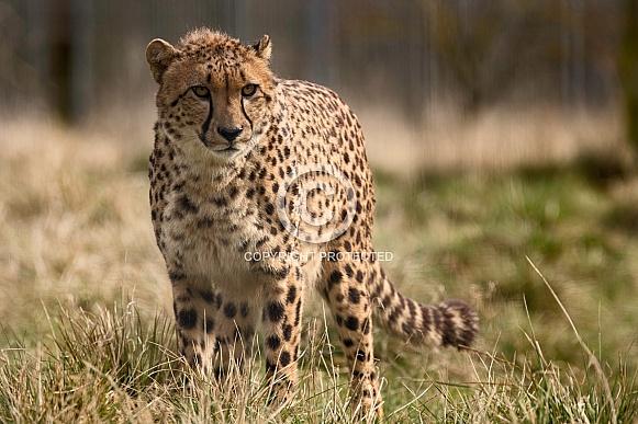 Cheetah Standing In Grass Full Body