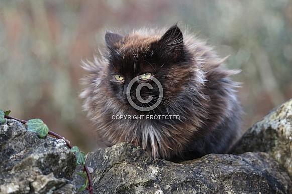 Longhaired Kitten